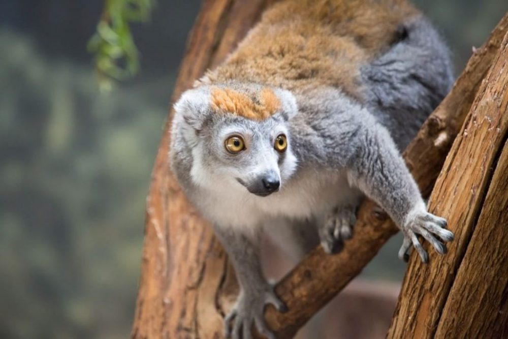 A Lemur at Lincoln Park Zoo | Things to do in Chicago