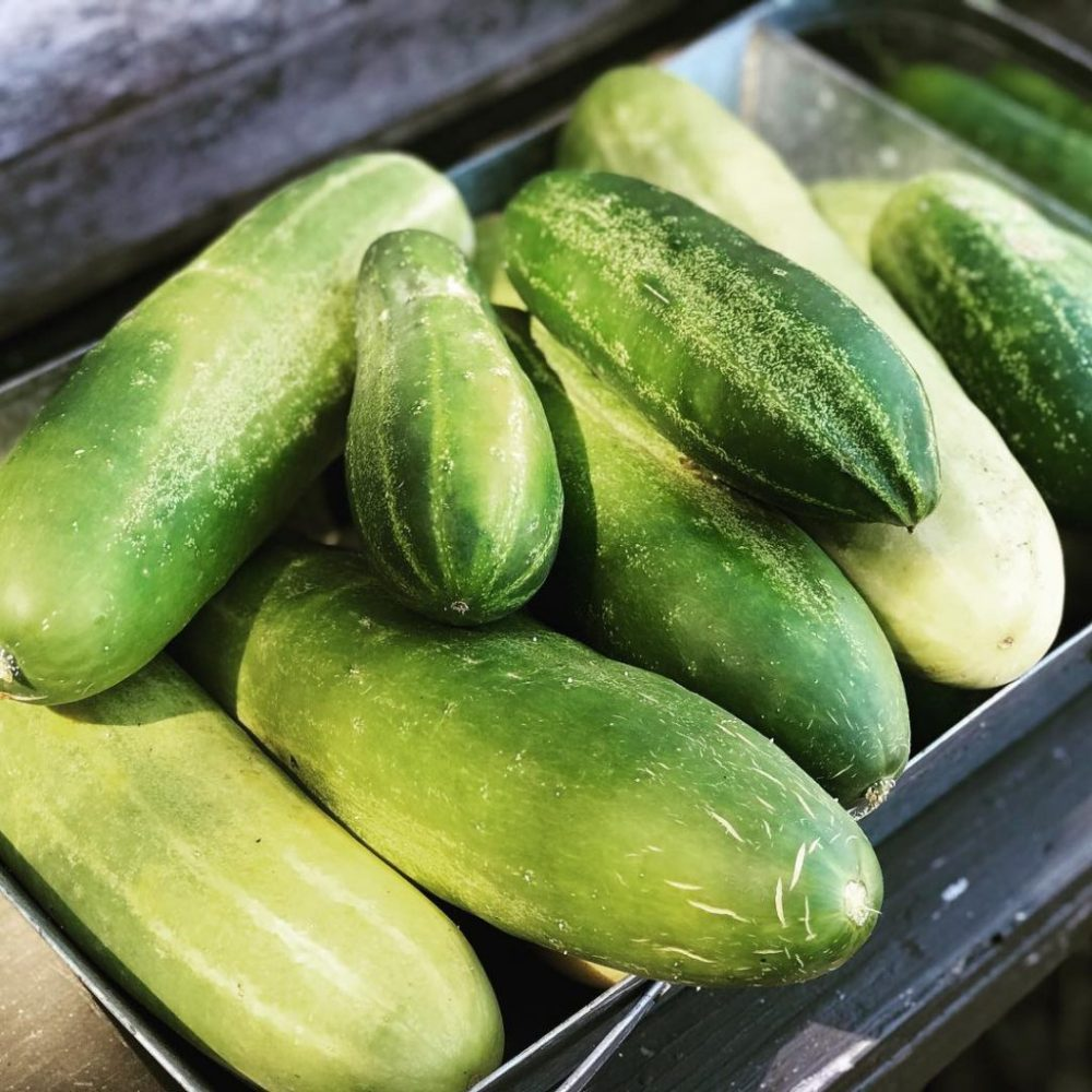 Fresh cucumbers at City Farm Chicago