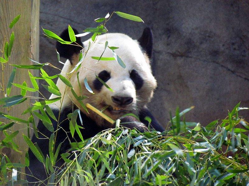 A giant panda at Zoo Atlanta | best things to do in atlanta