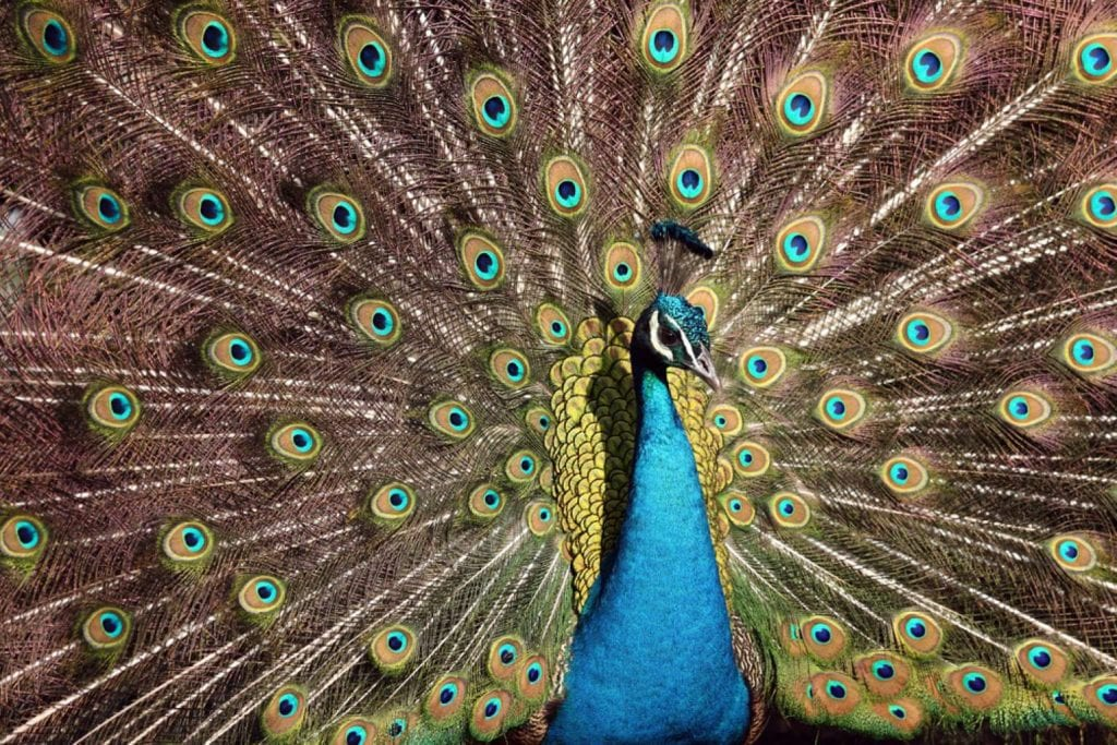 A peacock at the Philadelphia Zoo shows off his plumage to the visitors - Best things to do in Philadelphia
