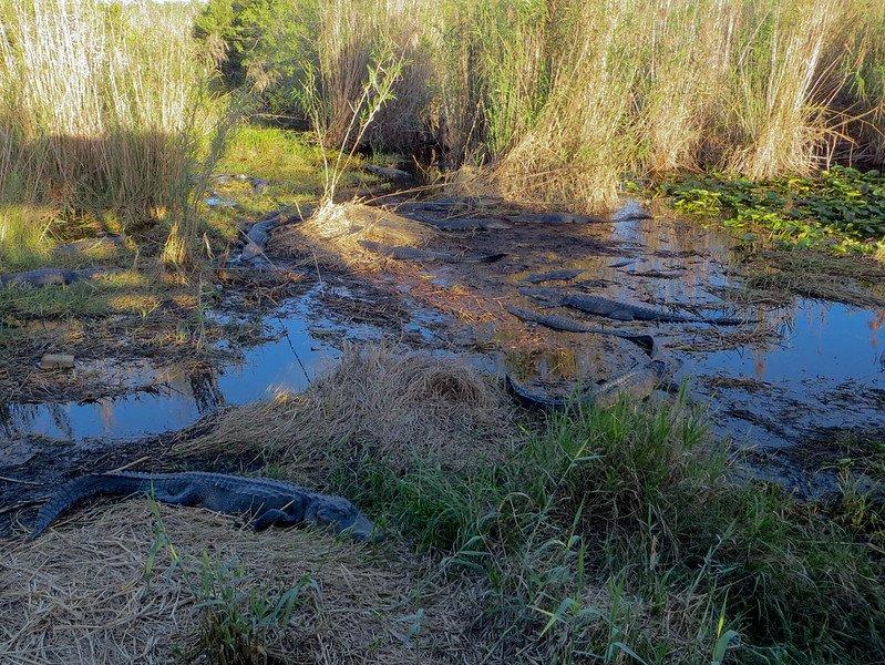 Everglades National Park - Alligators at the Everglades National Park Lake | things to do in miami