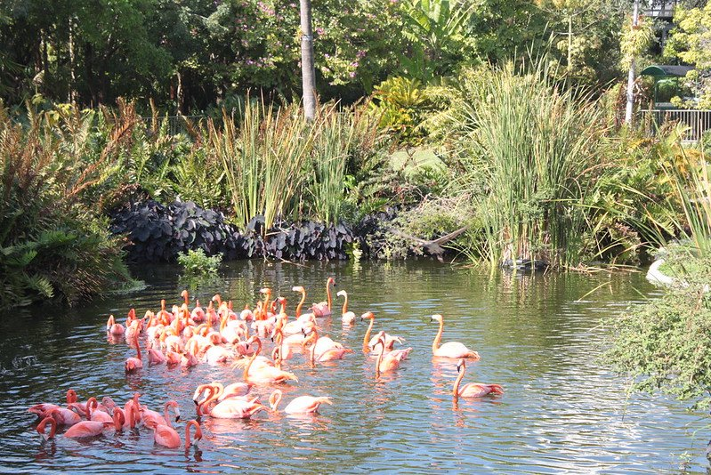 Jungle Island - Flamingo at the Jungle Island | things to do in miami