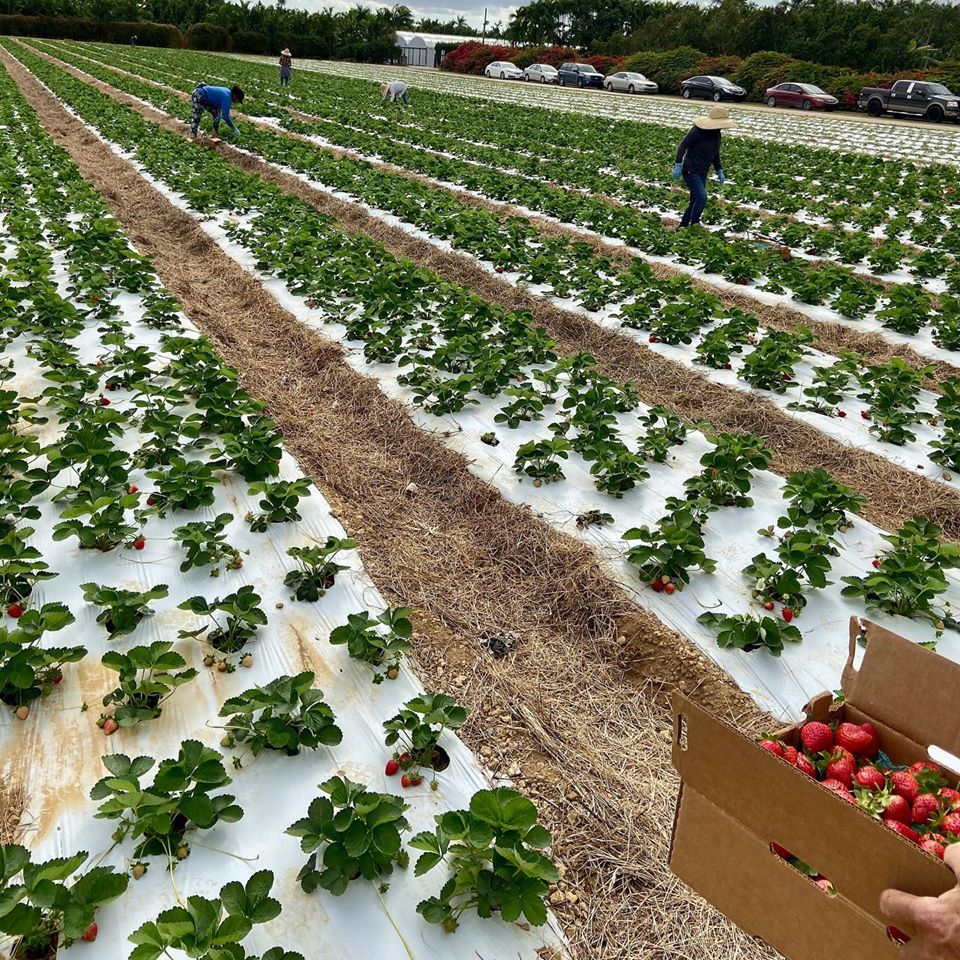 Knaus Berry Farm - Harvesting Strawberry at Knaus Berry Farm | things to do in miami