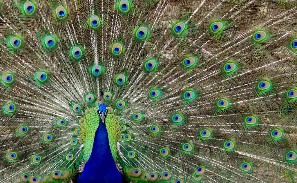 Peacock at Mayfield Park | Best things to do in Austin