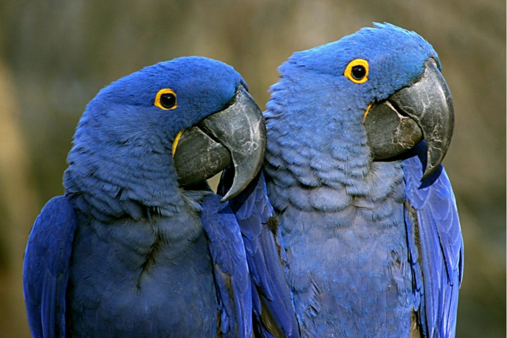 A pair of Purple Macaws at the Nashville Zoo | best things to do in nashville