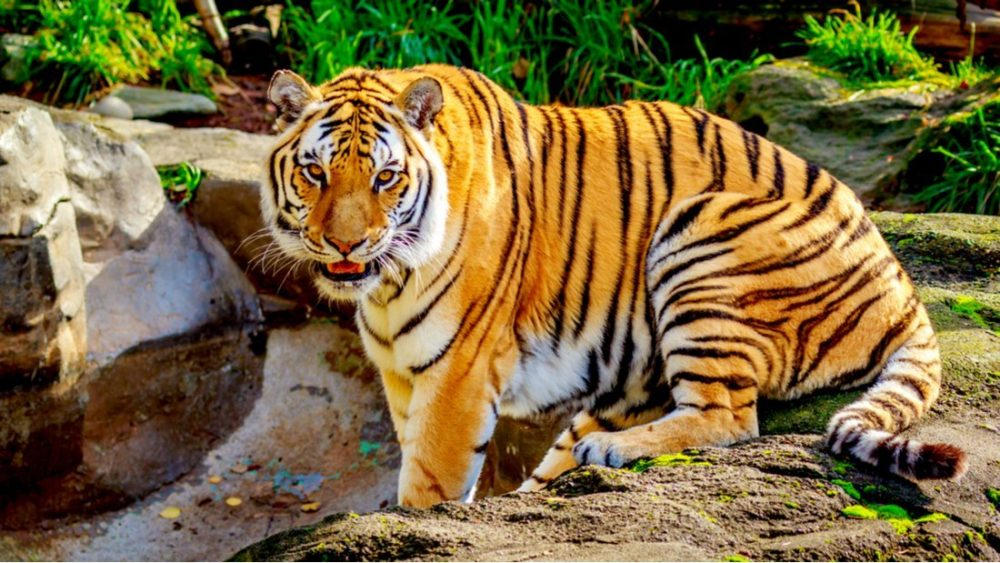 Close-up of Siberian tiger, also known as Amur Tiger | things to do in portland