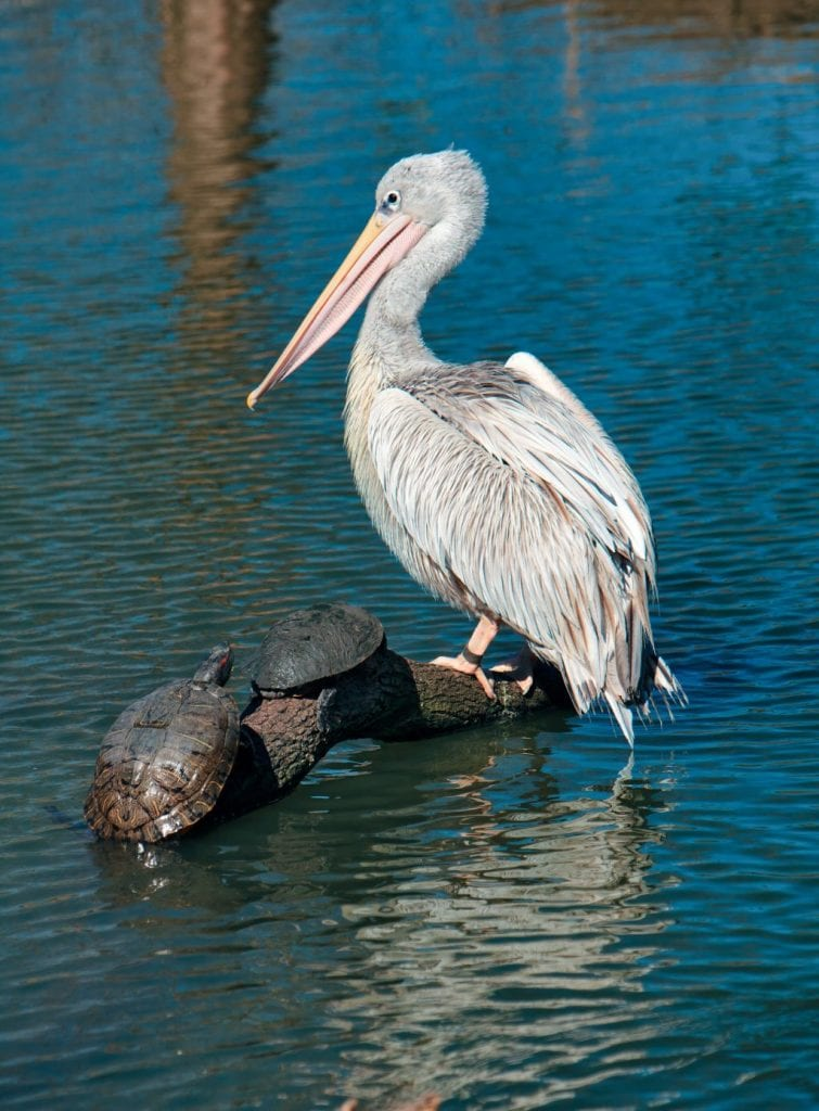 Pelican and friends at Audubon Zoo | best things to do in new orleans