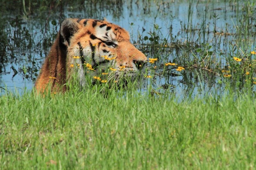 Photo of a tiger at Big Cat Rescue | best things to do in tampa