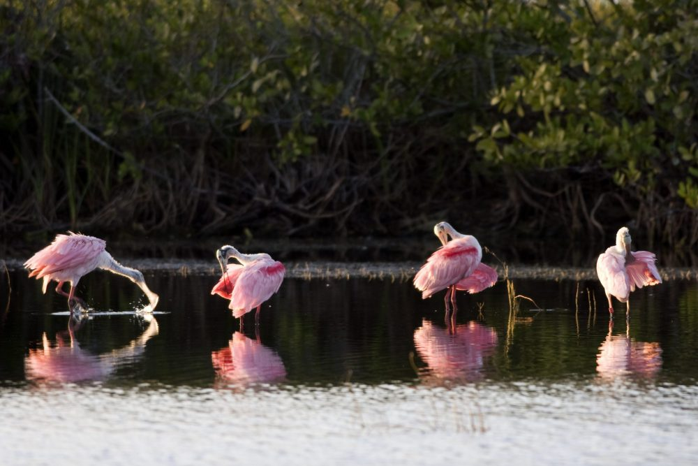 Roseate Spoonbills at Merritt Island National Wildlife Refuge | things to do in orlando