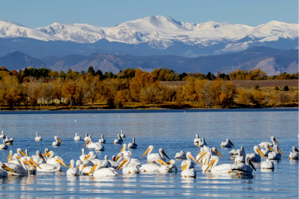 White Pelican with a stop at the Cherry Creek Reservoir | things to do in denver