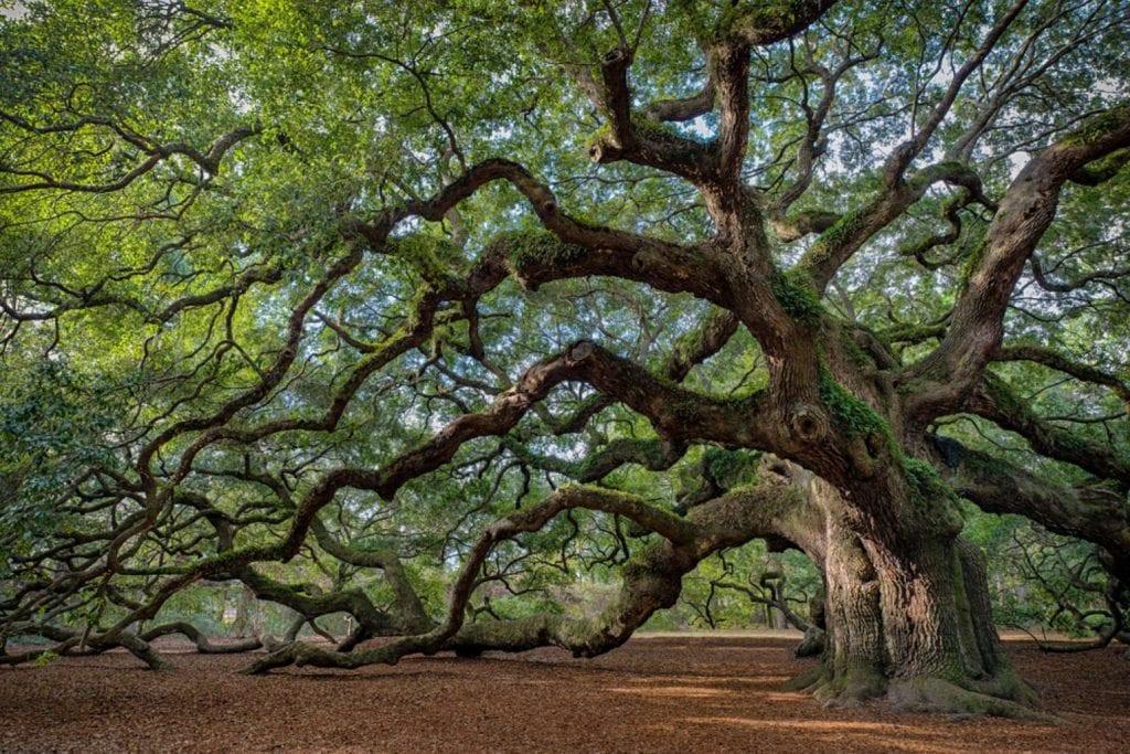The Angel Oak Tree Best things to do in Charleston
