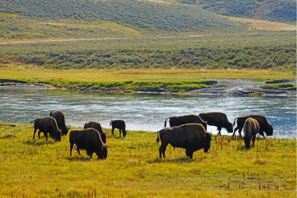 View of a herd of bison in the grass in the Hayden Valley in Yellowstone National Park, Wyoming | best things to do in yellowstone