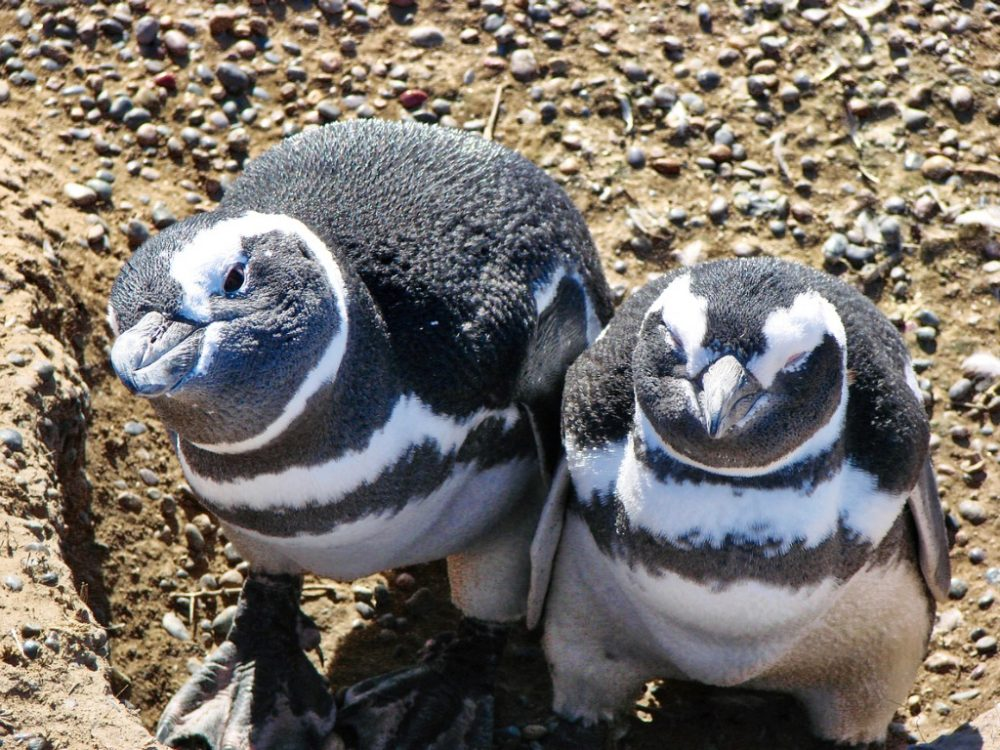 puerto-madryn-famous-magellanic-penguin-colony-in-punta-tombo | things to do in argentine patagonia
