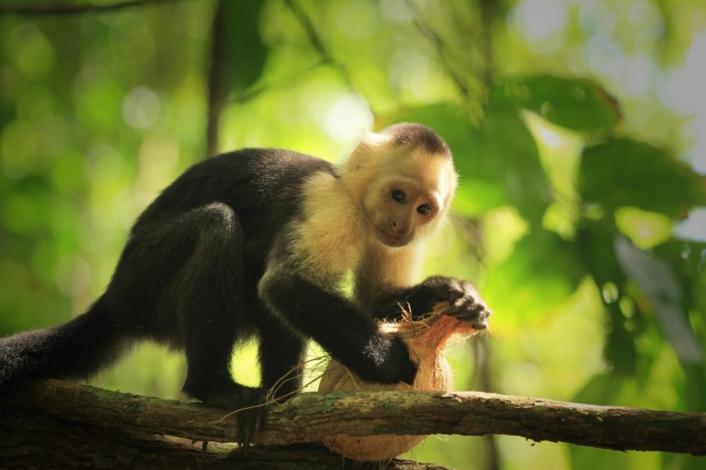 whitefaced-capuchin-monkey | things to do in costa rica
